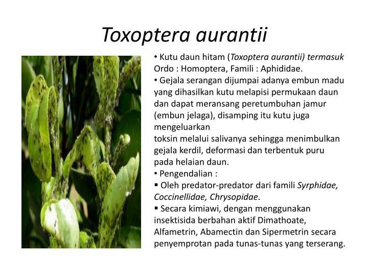 Toxoptera