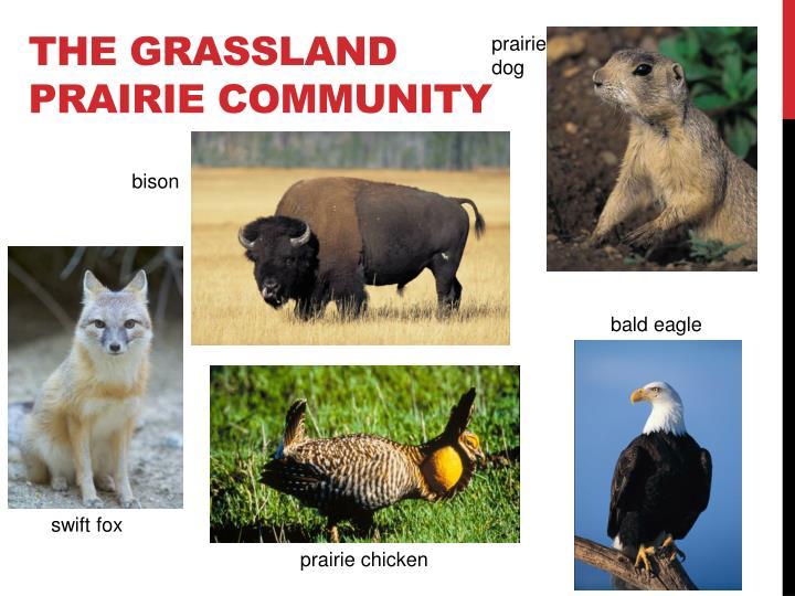 The Grassland Prairie Community