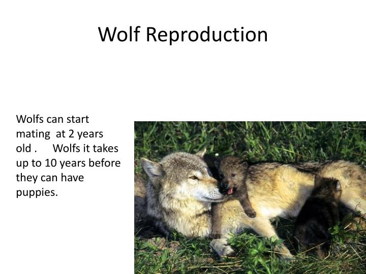 Wolf Reproduction