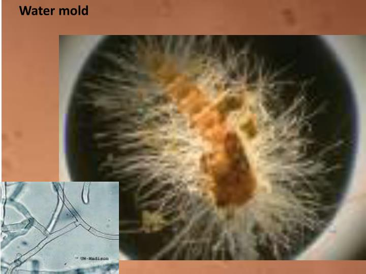 Water mold