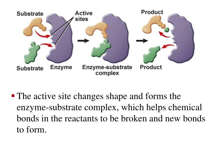 The active site changes shape and forms the enzyme-substrate complex, which helps chemical bonds in the reactants to be broken and new bonds to form.
