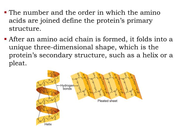 The number and the order in which the amino acids are joined define the protein's primary structure.