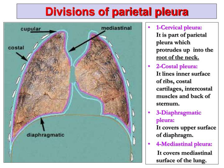 ppt - pleura and lung powerpoint presentation - id:2308086, Human Body