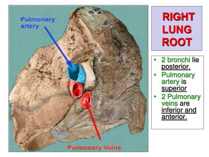 Pulmonary  Definition of Pulmonary by MerriamWebster