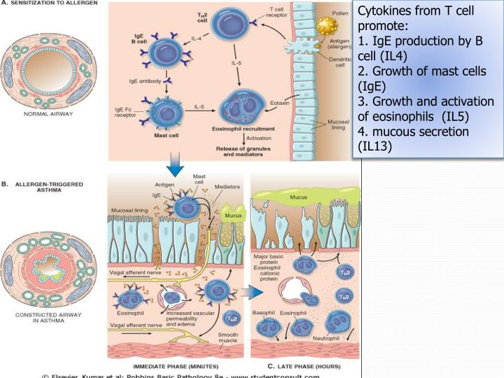 Cytokines from T cell promote: