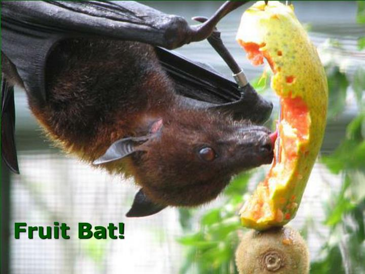 Fruit Bat!