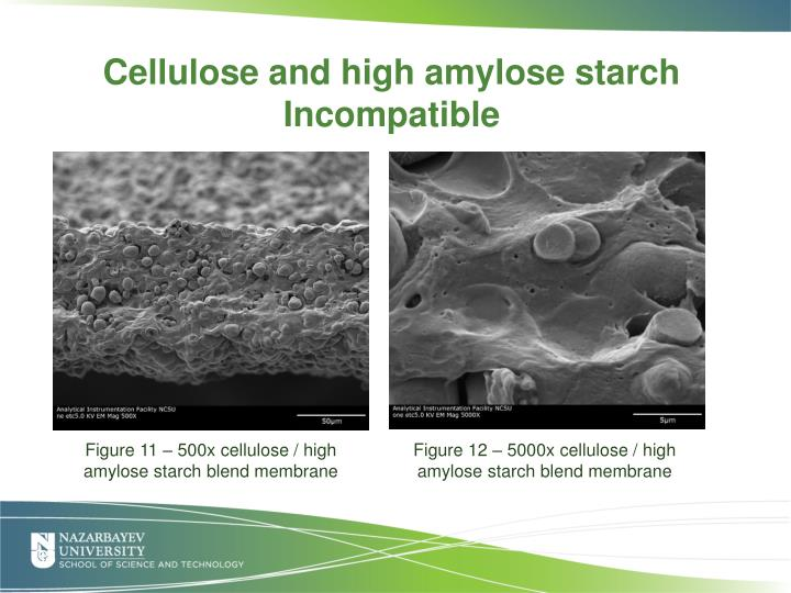 Cross-sections of 50/50 cellulose and high amylose starch blend membranes