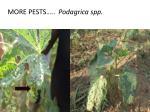 more pests podagrica spp