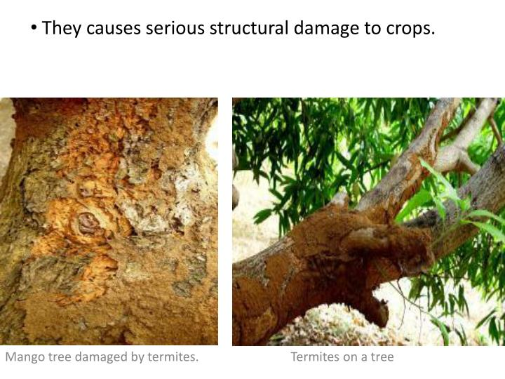 They causes serious structural damage to crops.