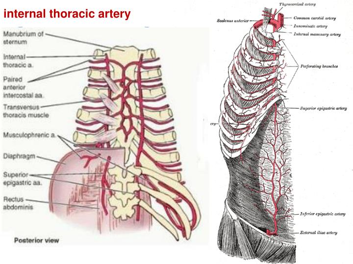 vertebral vein