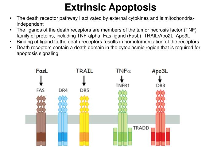 Extrinsic Apoptosis