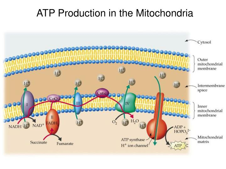 ATP Production in the Mitochondria