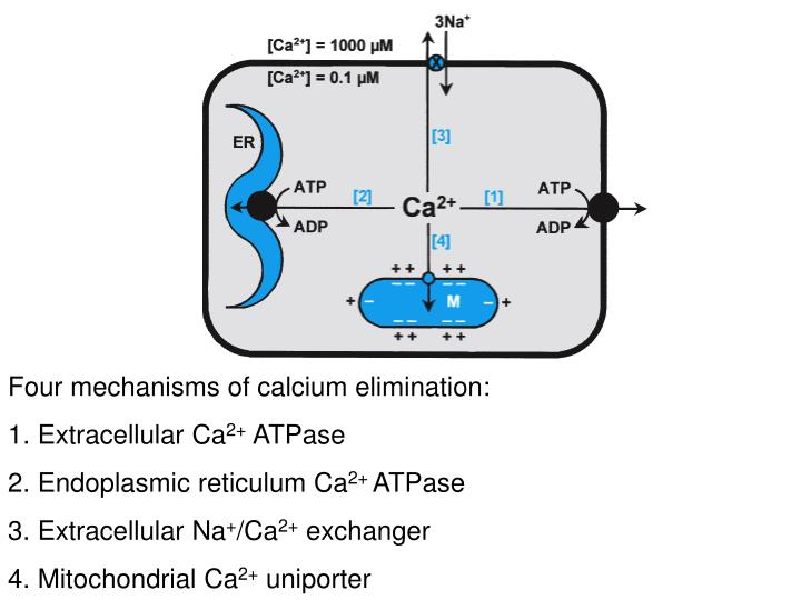Four mechanisms of calcium elimination: