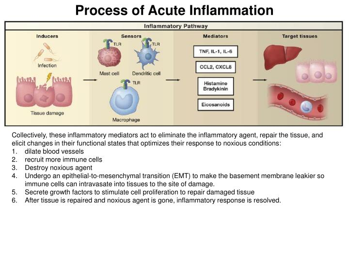 Process of Acute Inflammation