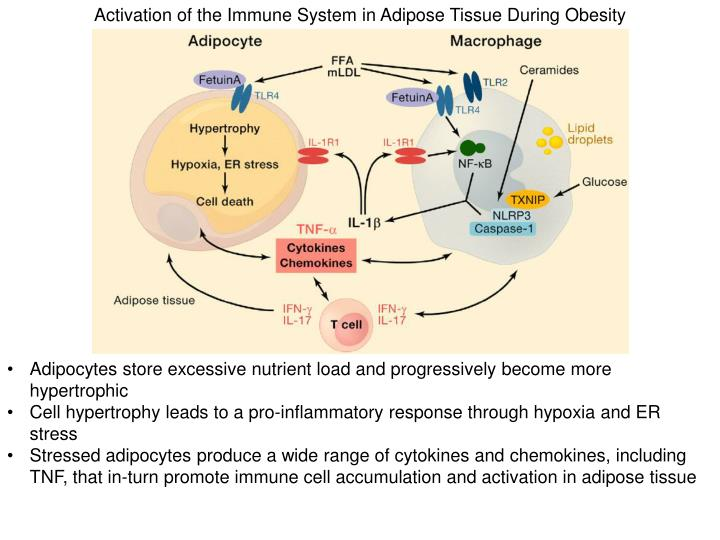 Activation of the Immune System in Adipose Tissue During Obesity