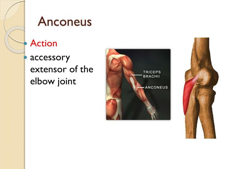 Anconeus