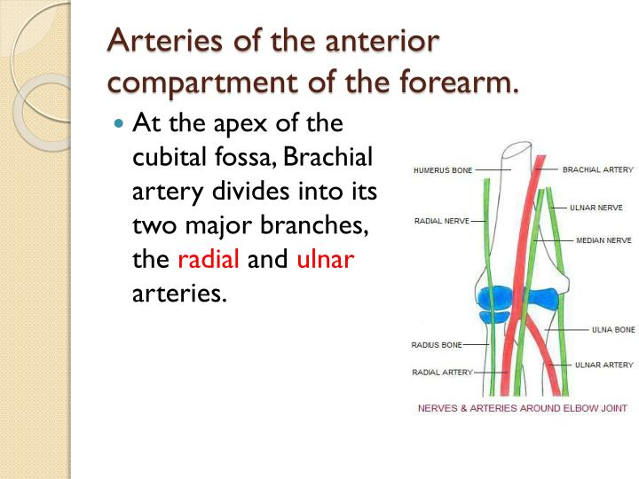 Arteries of the anterior compartment of the forearm.