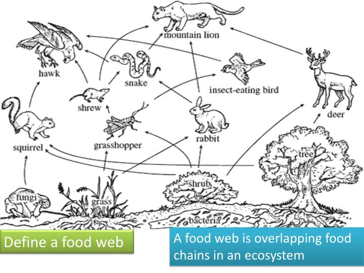 A food web is overlapping food chains in an ecosystem