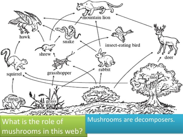 Mushrooms are decomposers.