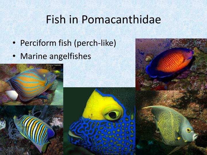Fish in pomacanthidae