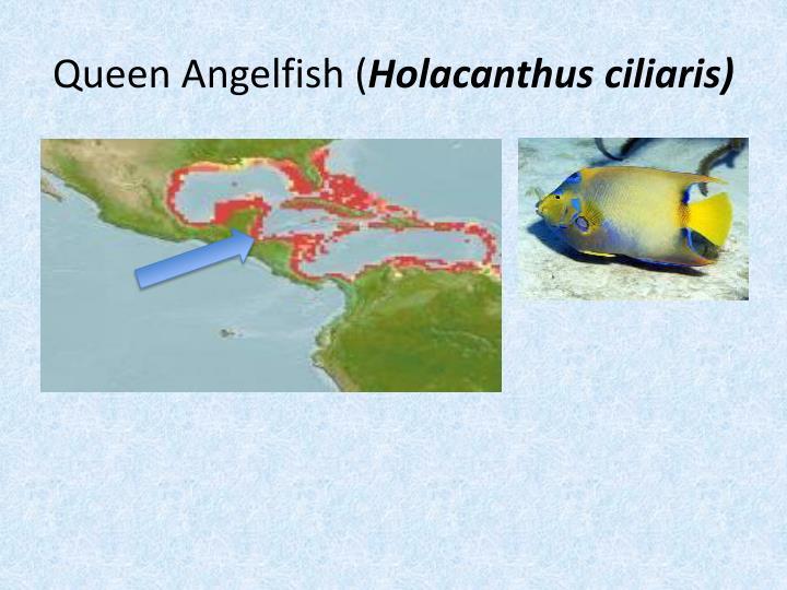 Queen Angelfish (
