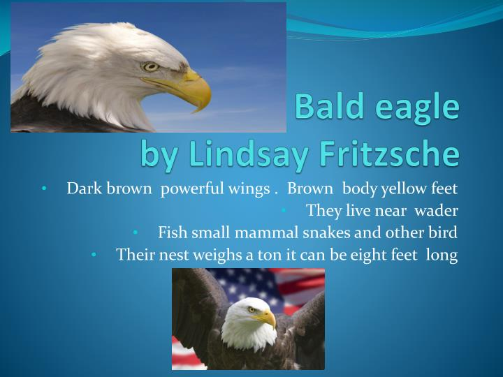 Bald eagle by lindsay f ritzsche