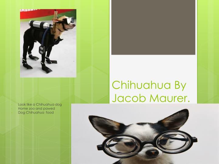 Chihuahua By Jacob Maurer.