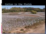 cotton in the fields