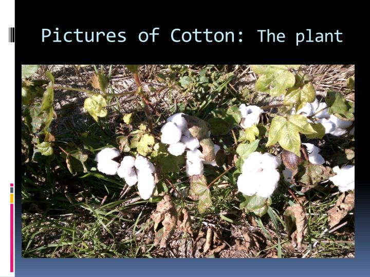 Pictures of Cotton: