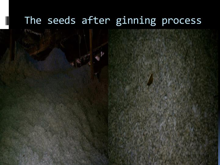 The seeds after ginning process