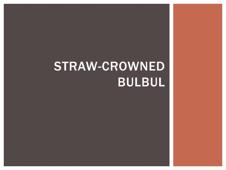 Straw crowned bulbul