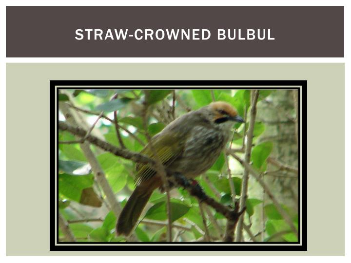 Straw-crowned Bulbul