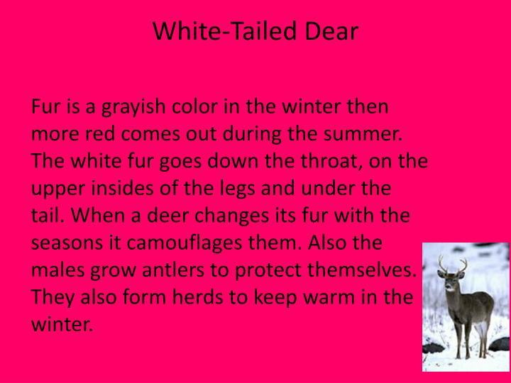 White-Tailed Dear