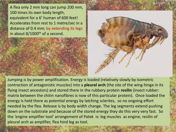 A flea only 2 mm