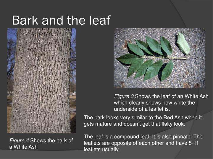 Bark and the leaf