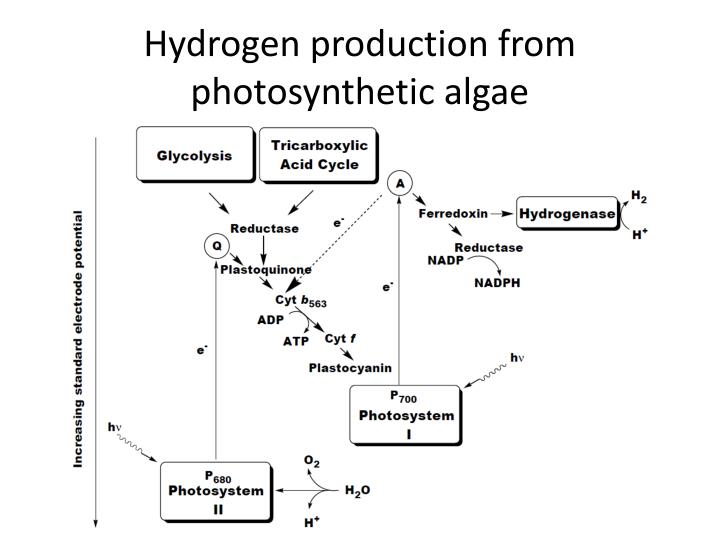 Hydrogen production from photosynthetic algae