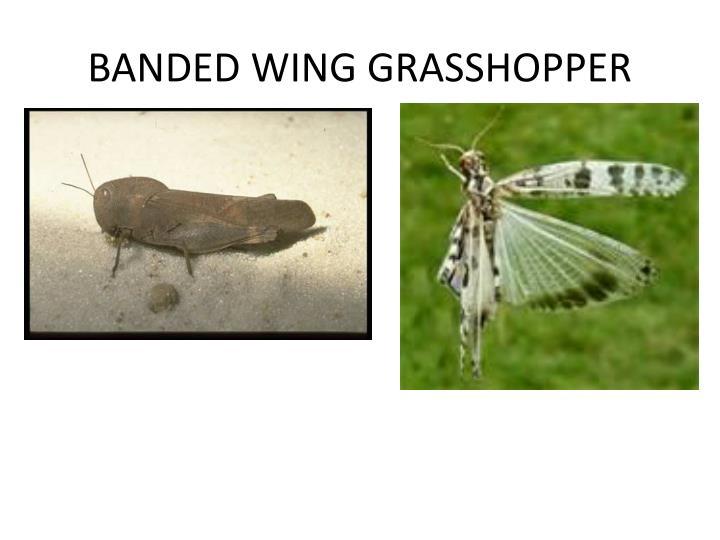 BANDED WING GRASSHOPPER