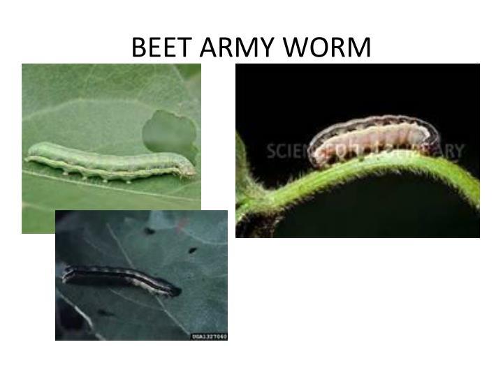 BEET ARMY WORM