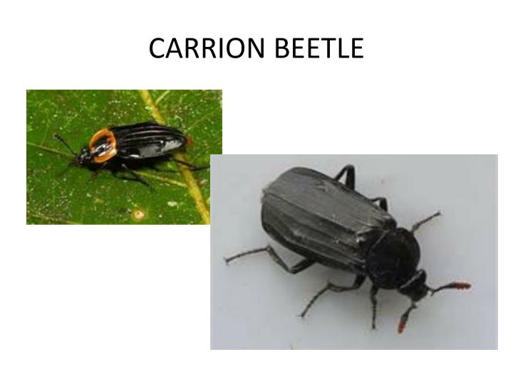 CARRION BEETLE