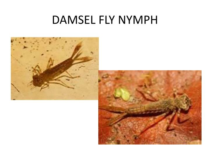 DAMSEL FLY NYMPH