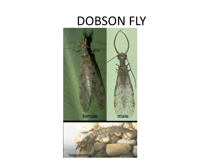 DOBSON FLY