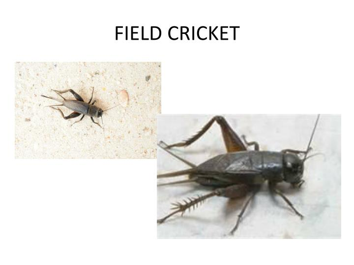 FIELD CRICKET