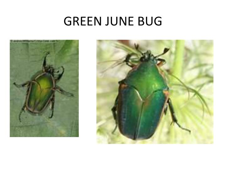 GREEN JUNE BUG