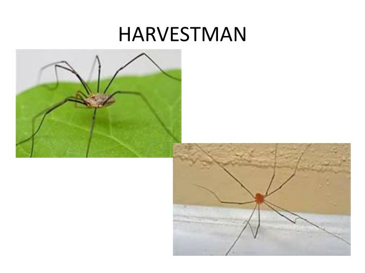 HARVESTMAN