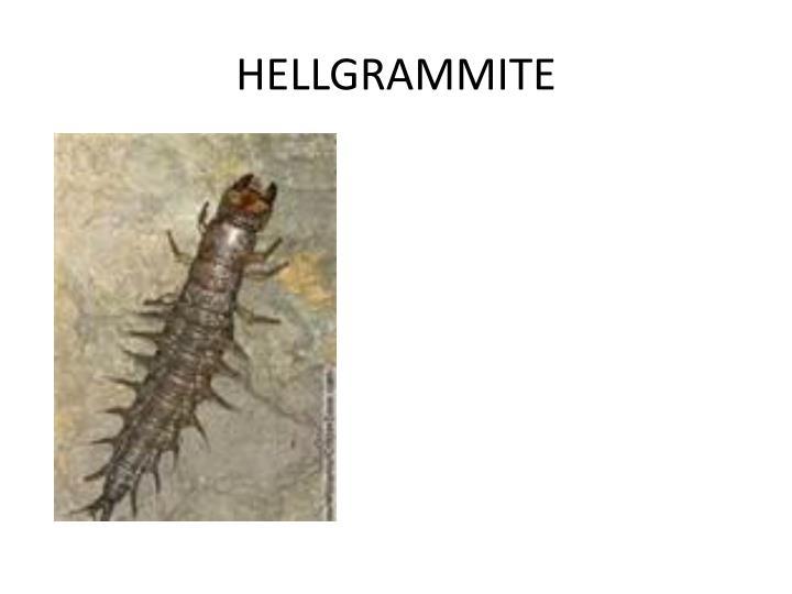 HELLGRAMMITE