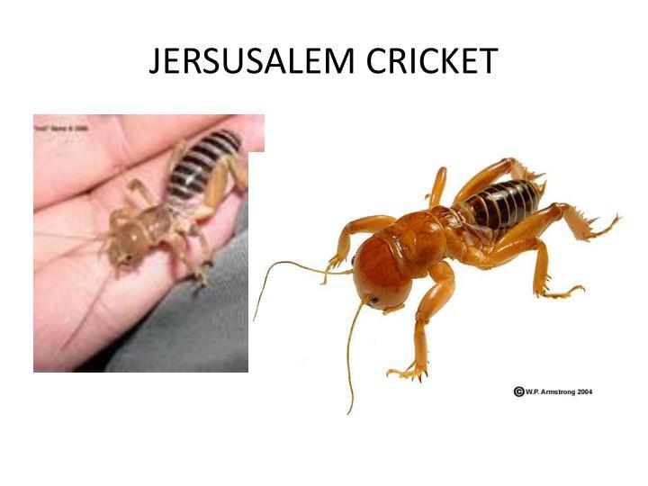 JERSUSALEM CRICKET