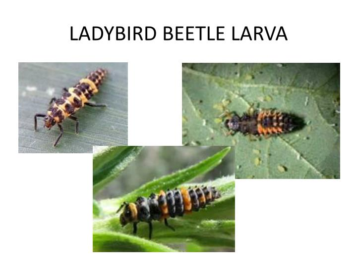 LADYBIRD BEETLE LARVA