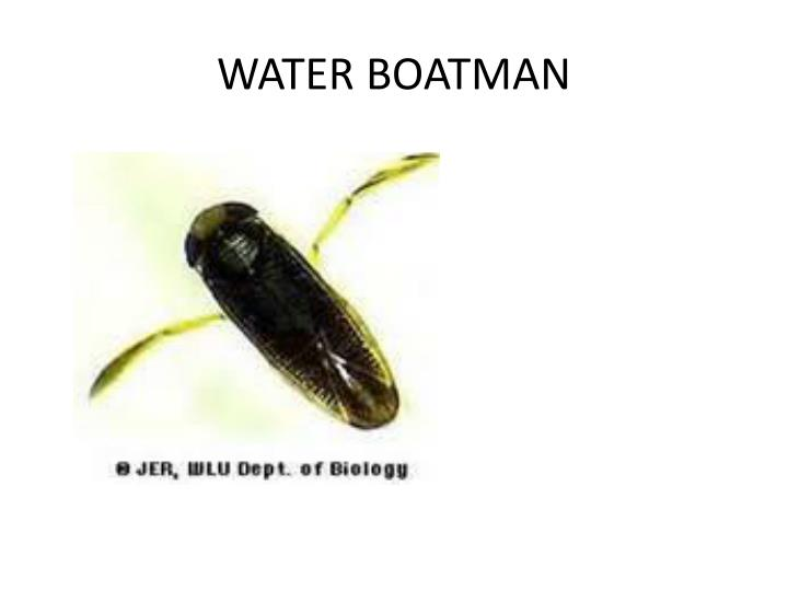 WATER BOATMAN