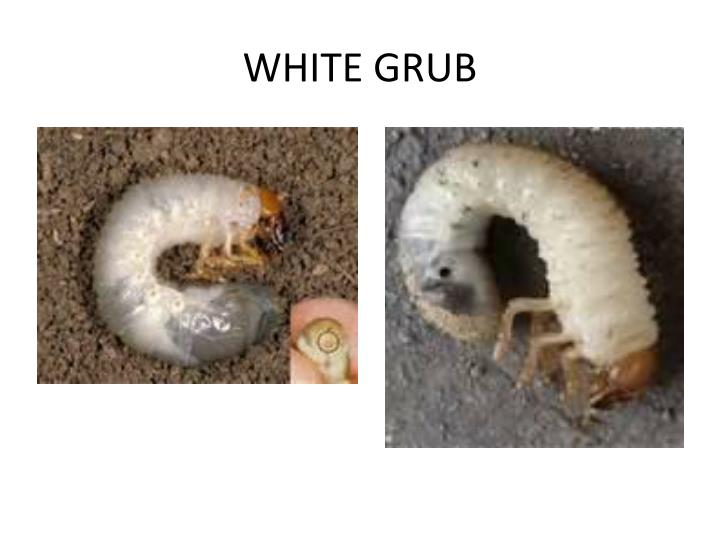WHITE GRUB