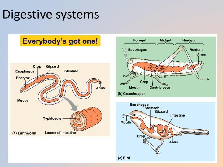 Digestive systems